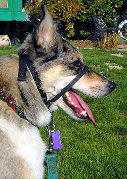Managing dog aggression by using a head halter for an aggressive dog